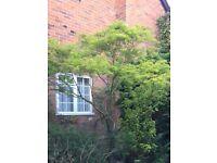 """Acer palmatum dissectum """"Viridis"""" 3m high"""