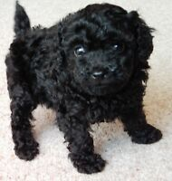 CKC toy-miniature male puppy- Reduced Further