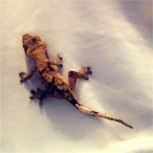 1 yr old crested gecko