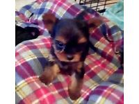 *Full Bred Tea Cup Yorkshire Terrier Pup* Yorkie