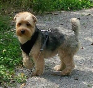 LOST but NOT FORGOTTEN - YORKSHIRE TERRIER