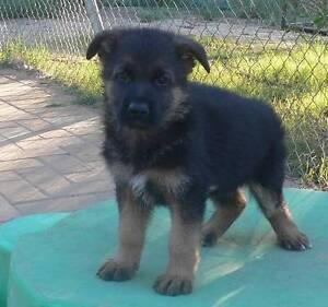 German Shepherd Male Puppy 4 Sale Bullsbrook Swan Area Preview