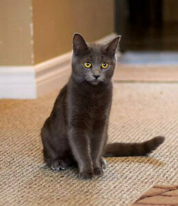 Meet VIOLET...Russian Blue Mix Kitten...Adorable,Adoptable