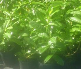 Laurel hedging for sale 2 pounds each