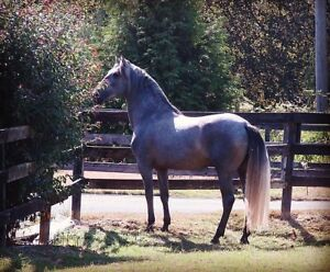 Andalusian Stallion- Reduced Rate!