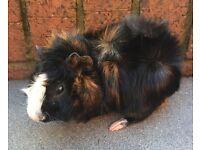 Absynian boy 5 months old