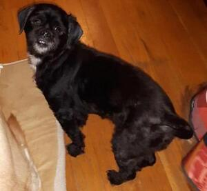 """Adult Male Dog - Lhasa Apso: """"Wicket"""""""