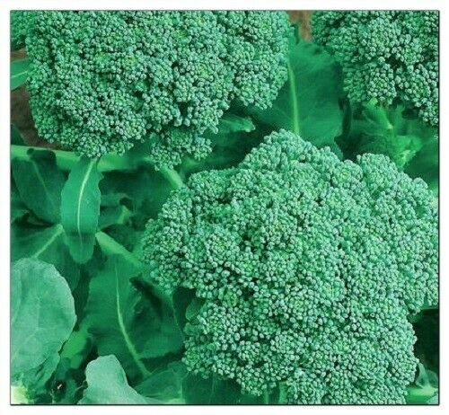 Broccoli Seeds    NON-GMO   Heirloom   Fresh Garden Seeds