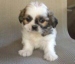 Absolutely Stunning SHIH TZU Puppies - 1 Male, 1 Female Left!