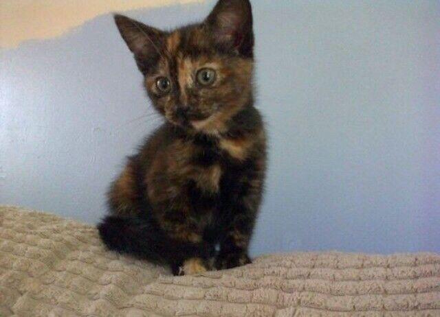 Bengal X Kitten In Stoke On Trent Staffordshire Gumtree