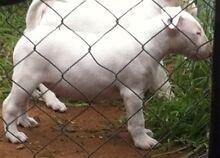 Registered papered pure bred bull terrier pups Berrigan Berrigan Area Preview
