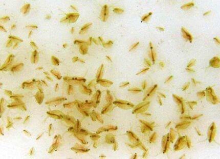 DAPHNIA CULTURE (similar to brine shrimp) AQUAPONICS /fry food Croydon Park Port Adelaide Area Preview