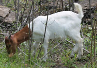 VERY NICE YOUNG BOER BUCKLING TRADE FOR FEMALE GOAT