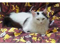 Missing Female Cat