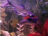 2 x PANGASIUS SHARK CATFISH. BOTH AROUND 5 INCH. TROPICAL FISH.