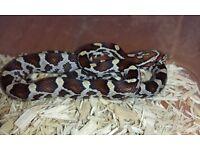 Beautiful Baby Corn Snake