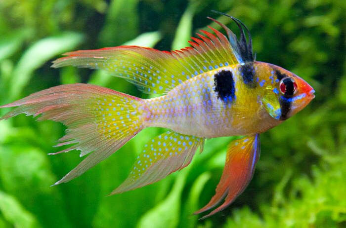 Community Tropical Fish Angels Tetra Guppy Fighter