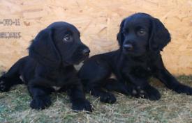 Gorgeous cocker spaniel puppies