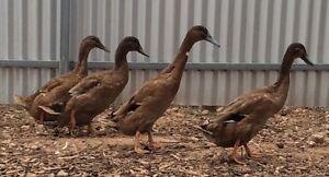 Khaki Campbell Ducks Mallala Mallala Area Preview