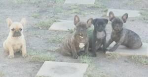French bulldog puppies avail