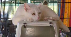 AC0539 : Salt (Whitey) - CAT FOR ADOPTION - Vet Work Included Helena Valley Mundaring Area Preview