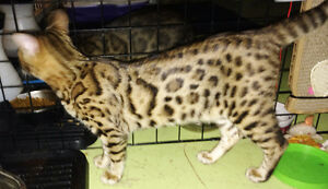 3 Registered Bengal kitten for sale $800. ( 2 male sold) 1 left