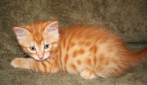 Savannah Mix Flamboyant Male Kitten