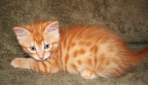 Flamboyant Half Savannah Kitten