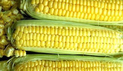 50+ - 50 LB KANDY KORN YELLOW SWEET CORN - NON-GMO HEIRLOOM  - Kandy Korn