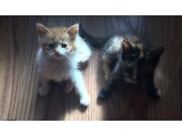 2 Lovely friendly female playful kittens for sale