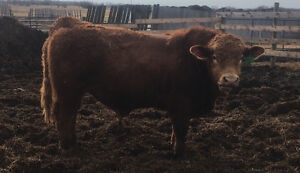 Purebred Simmental Bulls For Sale