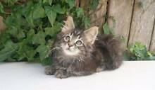 Beautiful black classic tabby girls Sydney City Inner Sydney Preview