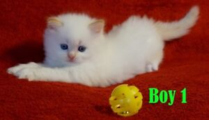 Ragdoll Himalayan kittens Ready To GO