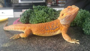 Bearded Dragon Gonzo is looking for a home