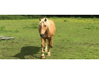 Beautiful14h palomino Welsh section D for sale