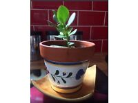 Money Plant with Decorative Pot and Gold Saucer