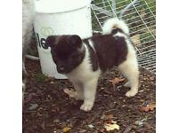 CHUNKY American Akita Puppy