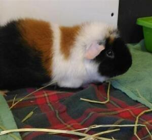 "Adult Male Small & Furry - Guinea Pig: ""Flash"""