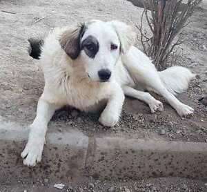 "Adult Male Dog - Border Collie-Great Pyrenees: ""PIRATE"""