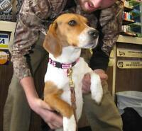 "Adult Female Dog - Beagle: ""London"""