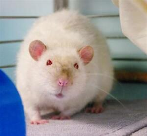 "Young Male Small & Furry - Rat: ""Eric"""