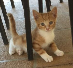 Two ginger kittens available