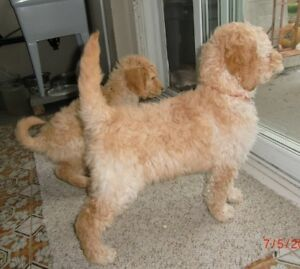 PURE BRED STANDARD POODLE PUPPIES AVAILABLE