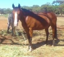 Super Quarter Horse Mare Kapunda Gawler Area Preview