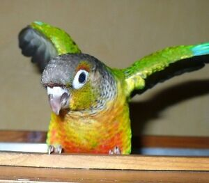 ❤★* Handfed Conures with Cage★❤