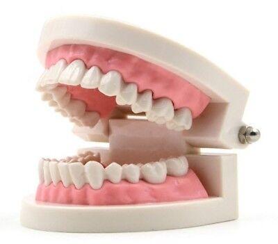 Dental Orthodontic Study Teach Adult Standard Typodont Demonstration Teeth Model