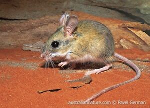 Wanted Spinifex hopping mice Marrickville Marrickville Area Preview