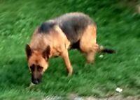 German Shepherd puppies- European bloodline   Ready To Go