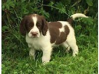 Beautiful springer spaniel puppies