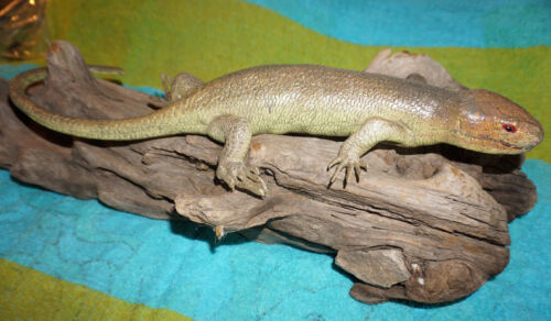 Tree Skink Lizard Replica - Solomon Islands Skink - Realistic PVC